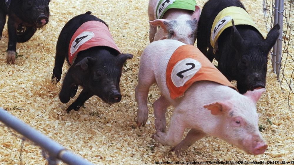 Смешной, смешные картинки про свиней