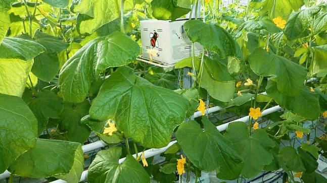Огурцы «Тепличного» опыляют пчелы